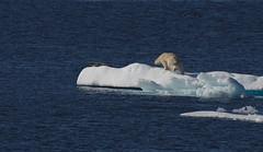 the attack (F VDS) Tags: greenland polar bear seal hunt nature summer hypercarnivore arctic ocean drift ice