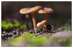 Familia (Guillermo de Baskerville) Tags: fungi setas bosque niscalos