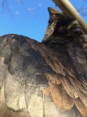 Raven (Honza z Krkonoš) Tags: pták úlovek krkavec smrt zobák peří černá lesk bird kill raven death beak feathers black gloss