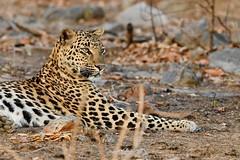 beautiful Leopard (cirdantravels (Fons Buts)) Tags: pannanationalpark tigerreserve bigcatsafari indiasafari wildlifephotography naturalhabitat inthewild madhyapradeshwildlife saraiattoria fonsbuts cirdantravels nikond850 leopard luipaard léopard pantherapardus bigcat feline felidae felinae carnivore carnivora