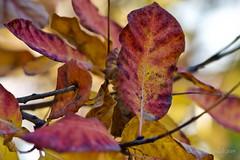 Paleta de colores otoñales. (EFD-fotolab) Tags: naturaleza nature nikond610 nikkor105mm macrofotografia macro rojizo coloresdeotoño españa otoño