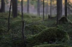 Mossland (Stefano Rugolo) Tags: stefanorugolo pentax k5 pentaxk5 kmount smcpentaxm50mmf17 depthoffield moss mossland forest undergrowth underwood sweden perspective atmosphere