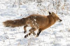Red Fox (Vulpes vulpes) (stitchersue) Tags: fox redfox vulpesvulpes winter snow running wild wildlife kawarthalakes ontario canada