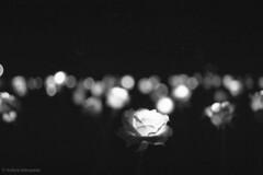 N1082019 (toshyie) Tags: leicam6 summicronm50mm adoxhr50 adoxhrdev film monochrome rose dream adox japan night dark mysterious bokeh flower
