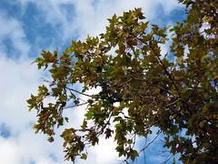 IMG_0409 - morbide nuvolette novembrine (molovate) Tags: platani autunno tafme canon digital ixus 980 is volate novembre foglia cadente molovate contrasto grigioazzurro