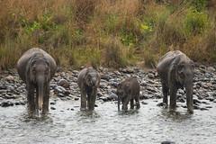 Elephants (Aravind Venkatraman) Tags: elephants aravindvenkatraman aravind avphotography avfotography av wildlife wildlifephotographer canon nationalgeographic india incredibleindia indian