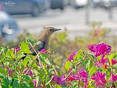 🇺🇸 Boat tailed grackle female 2254 (vickyoutenphoto) Tags: vickyouten boattailedgrackle wildlife nature nikon nikond7200 nikkor55300mm keywest florida usa
