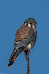 The hunter (Fred Roe) Tags: nikond7100 nikonafsnikkor200500mm156eed nature naturephotography national wildlife wildlifephotography animals birds birding birdwatcher birdwatching falcon raptor americankestrel falcosparverius colors outside flickr feet peacevalleypark