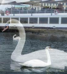 I n d e p e n d e n c e (helen_flow ♡) Tags: independence swan listen♫ arianagrande words vltava river poet purity
