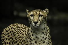 Gepard Zoo Rsotock (Fritz Zachow) Tags: gepard zoo rostock raubkatze raubtier deutschland