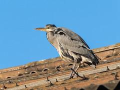 Heron on a rooftop (Maria-H) Tags: greyheron ardeacinerea roof oldglossop derbyshire highpeak uk olympus omdem1markii panasonic 100400