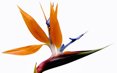 Bird of Paradise (Crystal Mandolin) Tags: floral multicolored nature flower bloom red orange blue green