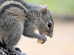 Indian Palm Squirrel (Meino NL) Tags: indianpalmsquirrel animal indischepalmeekhoorn zoogdier mammal funambuluspalmarum knaagdier rodent eekhoorn srilanka