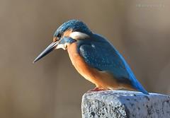 Kingfisher watching (MoGoutz) Tags: atthis alcedo kingfisher volvi lake madytos new βόλβη λίμνη μάδυτοσ νέα αρσενική αλκυόνη παρυδάτιο πουλί d500 nikon kuningaskalastaja kungsfiskare pescatore martin