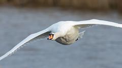 Mute swan (Steve Balcombe) Tags: bird mute swan cygnus olor inflight westhaymoor nnr bruevalley somerset levels uk