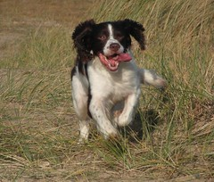 Little bounder (Happy Snapper 61) Tags: samson englishspringerspaniel spaniel dog dunes greatyarmouth norfolk