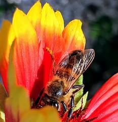 Close up (Ioannis Ks) Tags: bee gaillardia flower garden insect winter nature crete