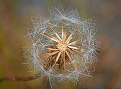 """""""The bad news is time flies. The good news is you're the pilot."""" -"""" ― Michael Altshuler (Irene2727) Tags: macro dandelion nature coth5"""