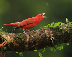 Summer tanager (tangara vermillon) on a rainy day - Costa Rica (lotusblancphotography) Tags: costa rica nature wildlife faune oiseau bird tanager tangara red rouge