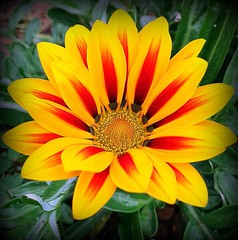Flower of December (Ioannis Ks) Tags: gazania flower garden plant nature winter crete
