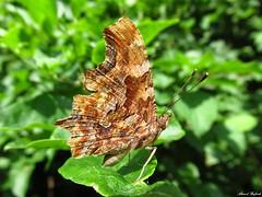 Butterfly 1902 (Polygonia c-album) (+1800000 views!) Tags: butterfly borboleta farfalla mariposa papillon schmetterling فراشة