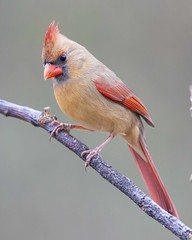 Northern Cardinal (Yer Photo Xpression) Tags: ronmayhew northerncardinal bird red nature canon tamron birdwatching coth5