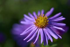 Blue Aster (pstenzel71) Tags: blumen natur pflanzen aster blue darktable flower bokeh ilce7rm3 sel90m28g