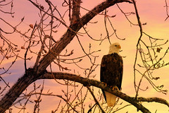Eagle Sunset (TicKavich) Tags: eagle bird tree sunset snow missouri branches wildlife