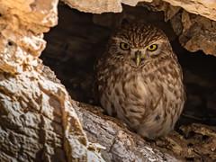 Rock Cliff Hidden, Little Owl (Athene noctua), Wadi Al Wala, Madaba Governorate, Jordan (SW Roller) Tags: littleowl bird animal wildlife nature crag rock hidden wadialwala madaba jordan d500