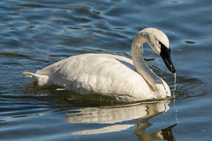 Coming up for air (ChicagoBob46) Tags: trumpeterswan swan bird yellowstone yellowstonenationalpark nature wildlife naturethroughthelens coth5 ngc npc