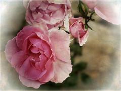 Antique Rose (Jocelyn777 - Celebrating Europe) Tags: rose flowers plants nature macro textured