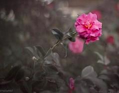 Pink (paulgarf53) Tags: flower pink savannah georgia nature topaz topazstudio2 nikon d700