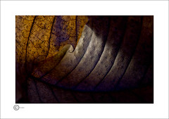 Curled Leaf (Clicker_J) Tags: autumn brown browns curls curled detail dark foliage lighting light leafs leaf naturallight nikon rustic texture textures shadows shapes