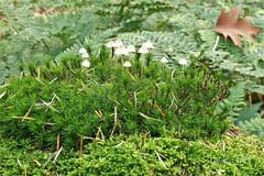 A tiny world.  Mycena's (Cajaflez) Tags: mushroom fungi paddenstoelen champignons pilzen mycenas ngc npc coth5