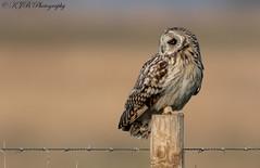 S.E.O(Posted) (KJB Photography.) Tags: seo shortie short eared owl post fens wetland farmland fenland nature wildlife photography winter migrants bird prey