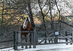 Winter Horse (Eyes Open To Life) Tags: horse winter animal snow fence trees landscape countryside stables farm