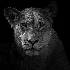 Lion Potrait (selvagedavid38) Tags: lion botswana africa safari potrait blackandwhite monochrome bigcat animal wildlife eyes