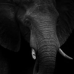 Elephant potrait (selvagedavid38) Tags: elephant botswana africa safari potrait blackandwhite monochrome tusk trunk mammal animal wildlife