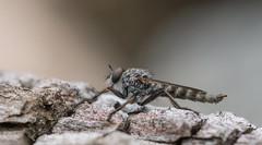 Tolmerus sp., male (Benjamin Fabian) Tags: closeup makro sel90 a6000 sony hexapoda insecta arthropoda tolmerus robber fly diptera brachycera arthropod hexapod insect raub fliege close up macro