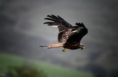 Red Kite. (spw6156 - Over 9,000,397 Views) Tags: red kite raining hard high iso copyright waterhouse