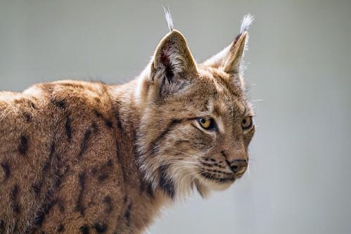 Another lynx portrait