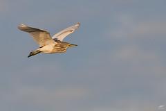 Squacco Heron - Papa-ratos (anpena) Tags: birds birdphotography birdsinflight herons squaccoheron