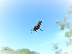 Sauterelle volante - Flying grasshopper (EmArt baudry) Tags: sauterelle grasshopper insecte animal ciel bleu blue nature emart emmanuellebaudry inexplore