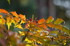 Colours of Winter (Sara@Shotley) Tags: mahonia bokeh light colour winter garden flower botanical botanic nature shape prickly shrub tree orange growing colurful outside ness wirral