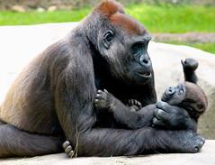 Mama (carsinclairtx) Tags: ape motherhood