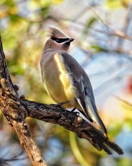 Cedar Waxwing  #birdsofinstagram #birds #birder #cedarwaxwing #berrydrunk #olympusphotography #olympus #em10markii #75300mm (vrot01) Tags: birder berrydrunk olympusphotography cedarwaxwing olympus 75300mm em10markii birdsofinstagram birds