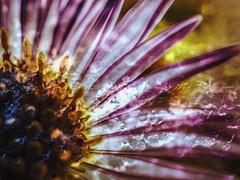 série en mal d'appareil - folie hivernale (photosgabrielle) Tags: photosgabrielle artistique macro fleur nature flower snow snowflakes neige hiver flocons