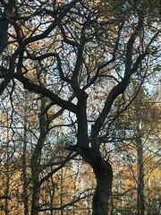 Tree (Anna's 50) Tags: tree canong1x