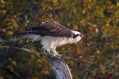 Pointer (gseloff) Tags: osprey bird perch leaves stump fallcolors nature wildlife mudlake pasadena texas kayak gseloff