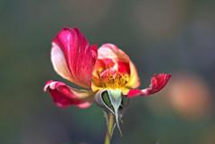 Faded Rose (M42Junkie) Tags: pentaxk10d mamiyasekor55mm14m42 red yellow orange green pink bokeh m42 macro macrotubes m42mount vintagelens vintagesensor flower flowers rose wideopen sanantonio texas